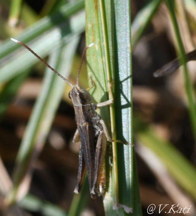 chorthippus-lacustris-malevkati