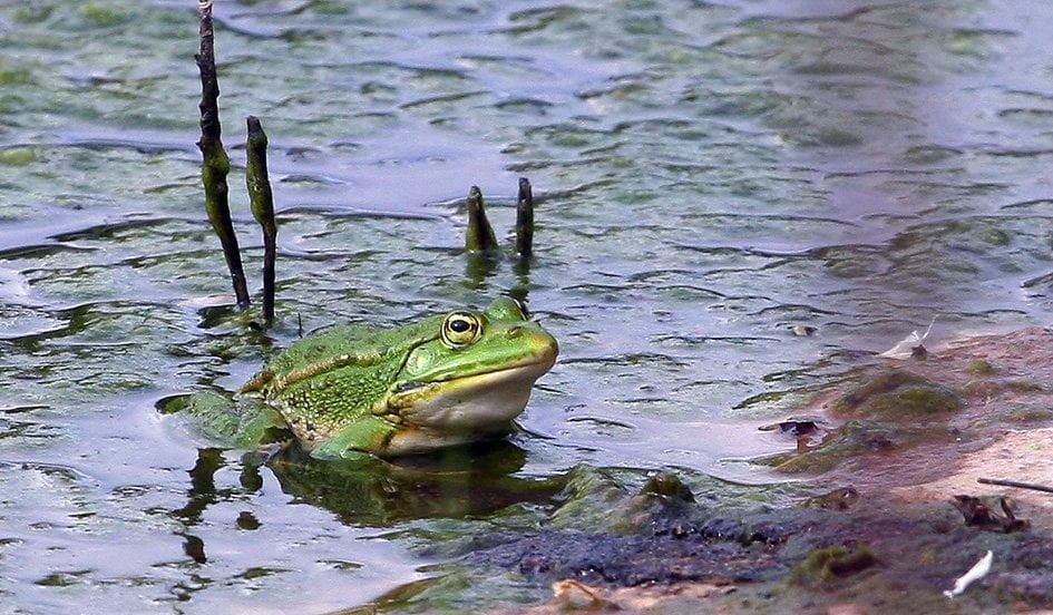 kostas-sotiropoulos-epirus-water-frog-pelophylax-epeiroticus