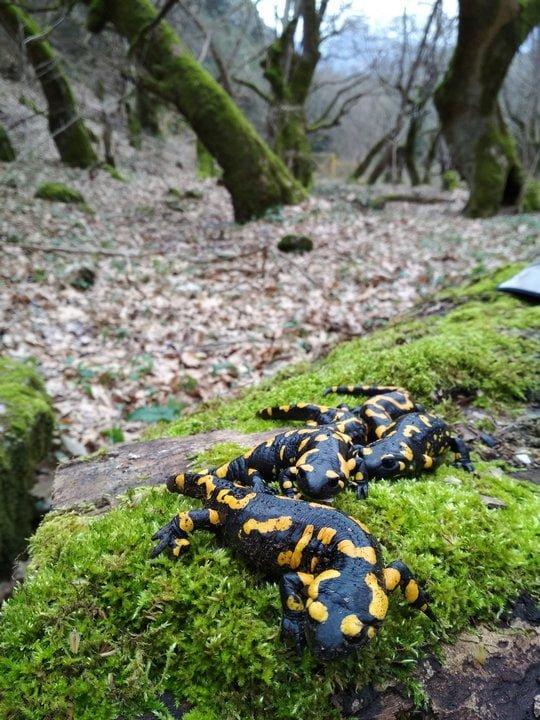 kostas-sotiropoulos-fire-salamander-salamandra-salamandra