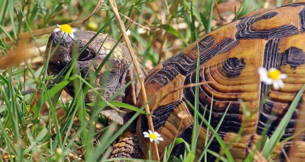 kostas-sotiropoulos-hermann-s-tortoise-testudo-hermanni