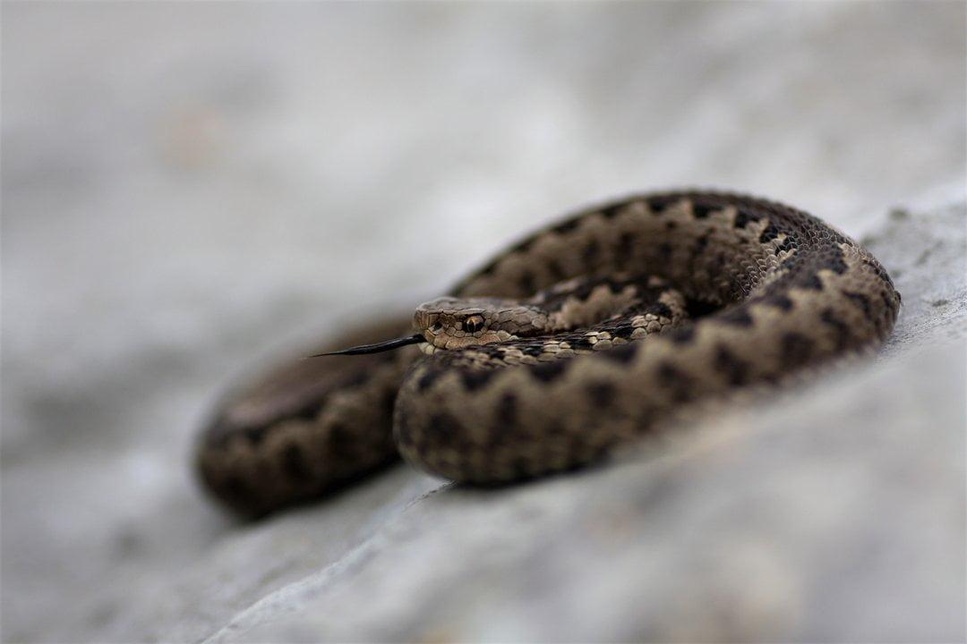kostas-sotiropoulos-meadow-viper-vipera-graeca