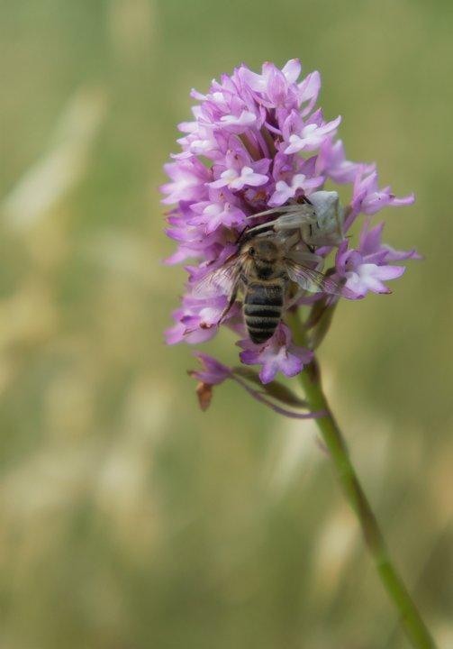 martha-charitonidou-anacamptis-pyramidalis-with-thomisus-onustus-and-bee